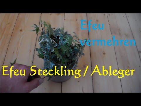 Efeu (hedera helix) vermehren - Ableger von Zimmerefeu machen - Efeu Steckling