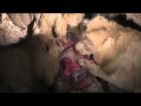 Video 3 male lions rip warthog apart and eat it alive download in MP3, 3GP, MP4, WEBM, AVI, FLV January 2017
