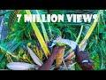 Toddy Kerala's Backyard Beverage Harvesting Shot on GOPRO Hero Black 6