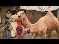 Camel Qurbani 2014 Faisalabad Diglous Pura