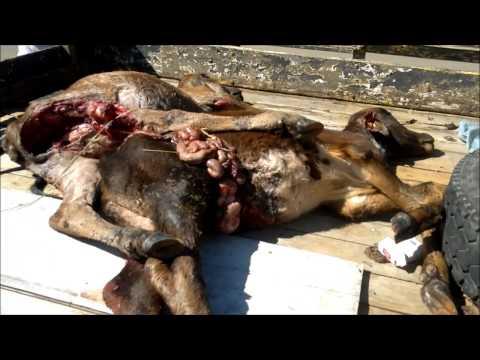 Bezerros são mortos e mutilados em Soledade de Minas, MG