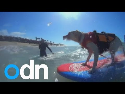 Surf's pup! Dogs make waves at annual dog-surfing contest in California