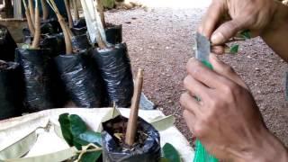 Video Cara baru sambung bibit durian 2 in 1( varietas Montong dan Canne) MP3, 3GP, MP4, WEBM, AVI, FLV September 2018