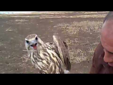 صيد طير الحر