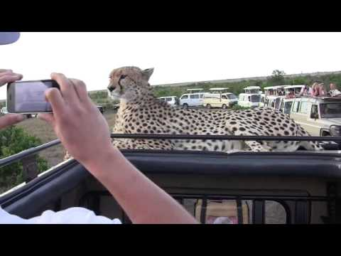 cheetah - Cheetah jumps on jeep, face to face in Masai Mara, Kenya. Sits there for 45 minutes!