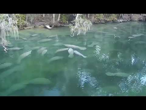 Manatees snuggling in Florida natural hot spring