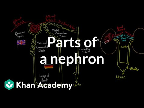 Parts Of A Nephron Video Khan Academy