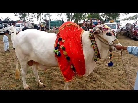 talagang - Talagang Bull Show Part 2: http://youtu.be/xGX_gBXpz90 Talagang bull show part 3: http://youtu.be/XyX30UqPNpk Talagang Mela is an annual Bull Festival where ...