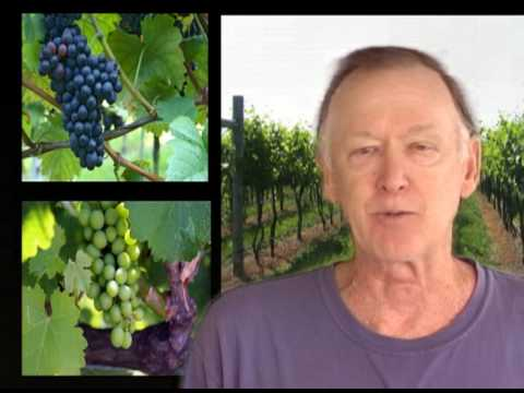 How to Prune Grapevines