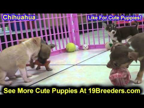 Chihuahua, Puppies, For, Sale, In, Columbia, Maryland, MD, Perry Hall, Pikesville, College Park, Sal