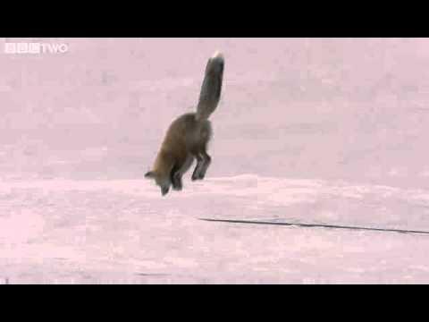 volpe si tuffa nella neve e cattura un topo