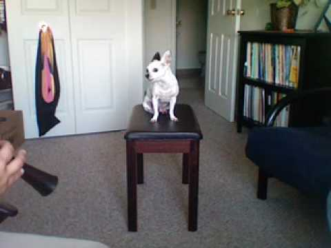 Papa Howling 2- My Chihuahua Singing with alto and soprano recorders