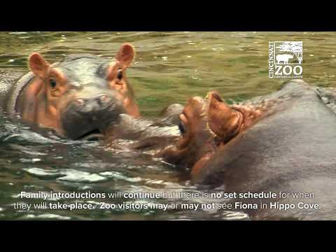Baby Hippo Fiona Together with Mom and Dad