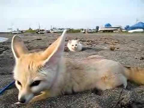 喵星人想偸襲耳廓狐(沙漠狐),結果%252E%252E%252E