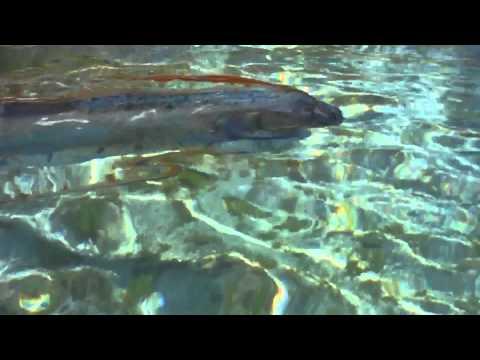 活在深海的「地震魚」竟然現身墨西哥海邊戲水…遊客零距離拍攝的畫面更是首見!