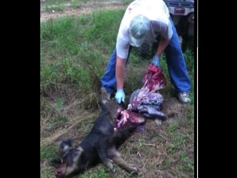 How to Field Dress a Wild Hog - Wild Hog Hunting