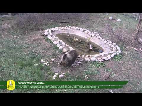 scanno, trovata morta l'orsacchiotta morena