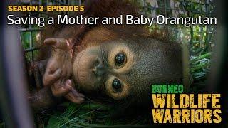 Video Orangutan Baby and Mother Saved [4K] | Borneo Wildlife Warriors (S02E05) | SZtv MP3, 3GP, MP4, WEBM, AVI, FLV September 2018