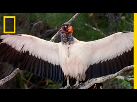 King Vultures | National Geographic