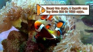 Thumbnail of Clownfish Sex Tape (The Circle of Life Has Never Been So Sexy!) video
