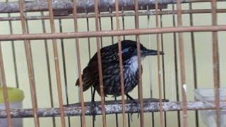 download lagu download musik download mp3 Suara Kicau Poksay Rawa Gacor Burung Langka Yang Unik
