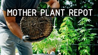 Pruning & Repotting An Overwintered Cannabis Plant (Part 1): Cannabasics #123 by RuffHouse Studios
