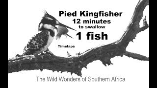 Kingfisher takes 12 Min to swallow fish Timelaps