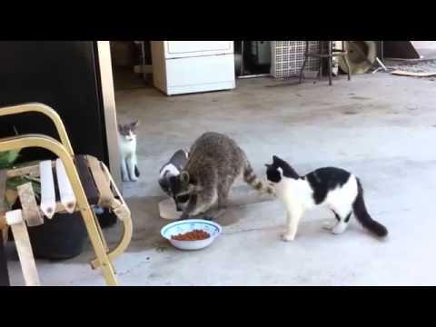procione ruba cibo ai gatti: guardate come reagiscono!