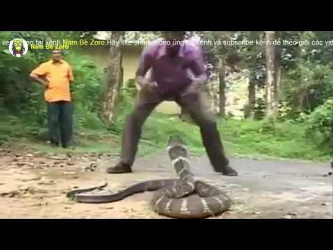 Bắt rắn hổ mang chúa bằng tay không và cái kết không tưởng
