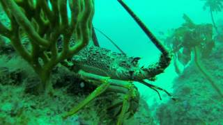 Great Barrier Island New Zealand  city images : Diving for Crayfish at Great Barrier Island New Zealand