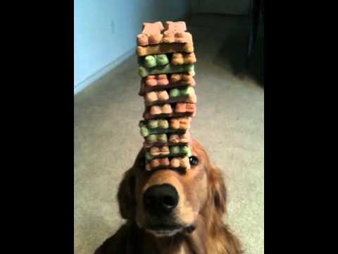 Dog Balancing A Jenga Stack Of Treats On His Head