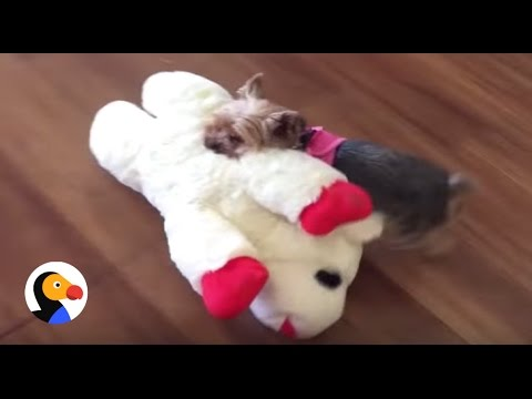 Tiny Dog Picks Out Biggest Toy In The Pet Store   The Dodo
