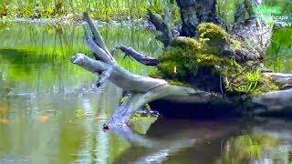 TEICHZUBEHÖR GÜNSTIG HIER http://amzn.to/2p4MVt5Videolink vom Bau des Teichs: https://youtu.be/X__gmmV18-QNun ist seit dem Bau einige Zeit vergangen und ich habe noch einige Veränderungen am Teich vorgenommen die ich noch zeigen möchte. Ich zeige euch außerdem welche pflanzen ich für diesen Naturteich verwendet habe und setze heute zwei Kois hinein.Letzen Herbst habe ich das Ufer des Teichs einmal abgemäht um den Aufwuchs von Gehölzen wie z.B. Weiden und Birken zu vermeiden. Es ist nun Ende April und alle Pflanzen haben angefangen zu wachsen.  Hier sehen wir den Bereich der Sumpf-Schwertlilien. Diese bis zu 1m hohe Pflanzen habe ich im hinteren Teil des Teichs als Gruppe gesetzt, auf diese Weise versperren sie nicht die Sicht auf die Wasserfläche und rahmen den Teich auf natürliche Weise ein.In Wassertiefen von ca. 60-80 cm habe ich Teich- und Seerosen gesetzt. Die Seerose zeigt bereits ein paar Ihrer Blätter.Auch die blaue Iris sibirica treibt bereits aus. Sie wird sich im Sommer, bei etwas niedrigerem Wasserstand wohler fühlen, da es eigentlich keine Wasserpflanze ist und eher frische bis feuchte Böden liebt. Zwischen Schilf und Wollgras fühlen sich die Frösche sehr wohl.Der frühblühende Fieberklee zeigt bereits seine Blütenknospen und bieten mit seinen in das Wasser ragenden Rhizomen  Schutz für Frösche und Fische. Die Kois halten sich hier besonders gerne auf. Wie man sieht halten sich die Fische auch gerne an der Baumwurzel auf. Die Tiere haben sich gut eingelebt und fühlen sich scheinbar sehr wohl. Insgesamt befinden sich in diesem ca. 300 m² großen Teich ca. 10 Fische. Damit der Teich ohne Filter und Pumpen weiterhin gut funktioniert füttere ich die Fische nur gelegentlich. Sie finden ausreichend Nahrung im Schlamm und zwischen den Wasserpflanzen, so wie es sich für Echte Karpfen eben gehört. Ein paar Goldfische wurden bereits vom Fischreiher geholt, aber das gehört bei einem naturnahen Teich wohl dazu. Trotzdem habe ich mich entschieden einen Reiherzaun zu e