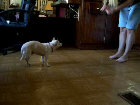 Chihuahua poochy doing tricks