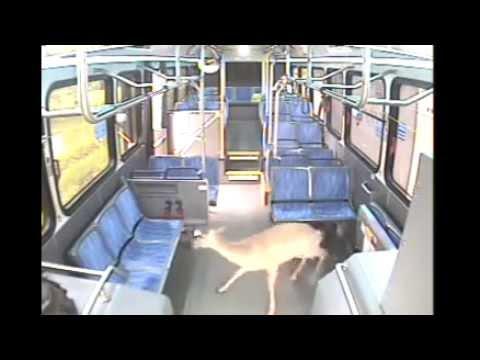 Deer Vs. Bus