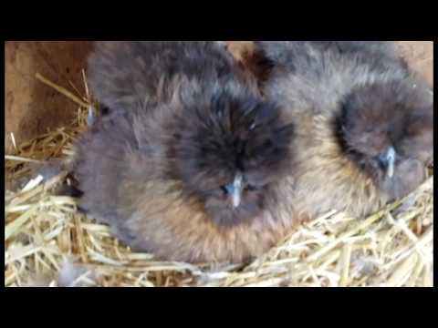 Video Broody Silkie Hens download in MP3, 3GP, MP4, WEBM, AVI, FLV January 2017