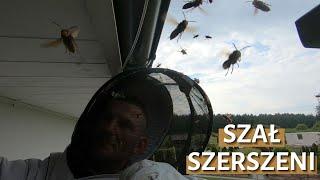 Szał szerszeni – usuwanie gniazda