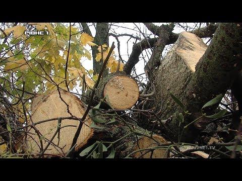 Чи ведуть облік дерев у Рівному? [ВІДЕО]