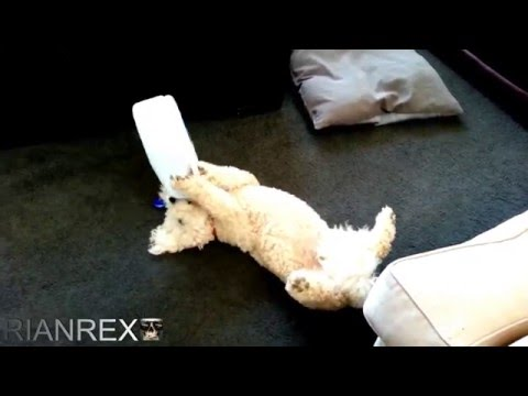 This dog drinks milk out of container while laying on her back