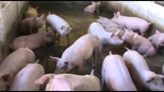 Granja De Porco A Venda Em Capivari - SP