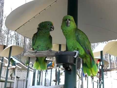 Amazon Parrots Arguing Like An Old Married Couple