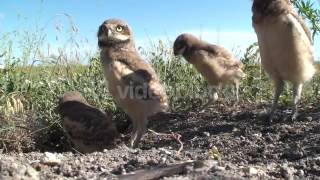 BURROWING OWL YOUNG FAMILY ALARMED SUMMER GROUND LEVEL NHX5CWBXLE