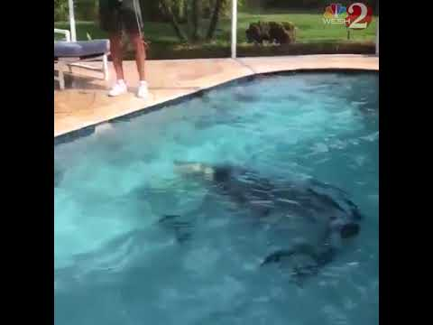 Alligator im Pool