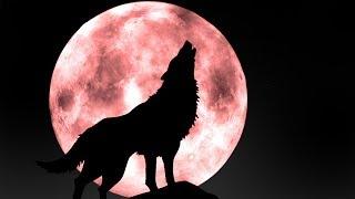 suara binatang serigala | hewan suara untuk anak-anak | Tokek Mp3