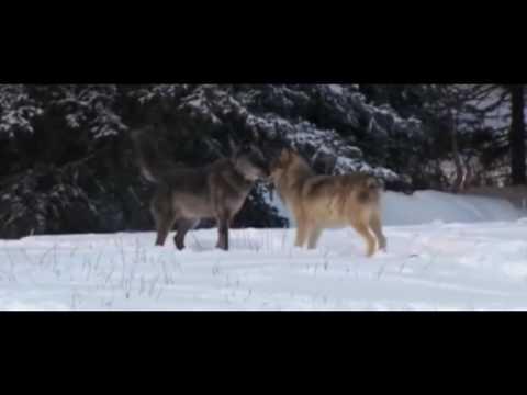 Александр Поручикъ: Подруга волчица (сл./муз. Александр Поручикъ)