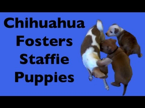 Chihuahua plays with tiny Staffie puppies