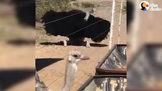 Lady Ostrich Gives Zero F**ks About Guy's Mating Dance