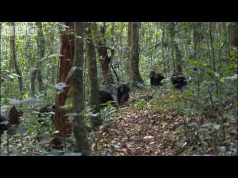 Violent chimpanzee attack - Planet Earth - BBC wildlife
