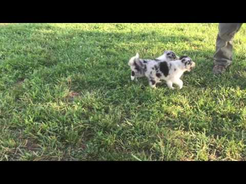 Border Collie Puppy - Shadow
