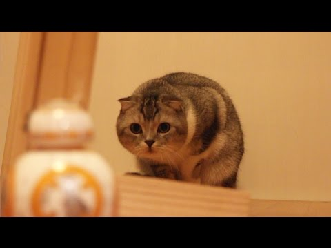 CAT vs BB-8 sphero